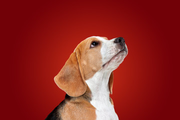 Wall Mural - Beagle tricolor puppy is posing. Cute white-braun-black doggy or pet is playing on red background. Looks attented and playful. Studio photoshot. Concept of motion, movement, action. Negative space.