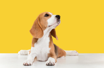 Beagle tricolor puppy is posing. Cute white-braun-black doggy or pet is playing on yellow background. Looks calm and confident. Studio photoshot. Concept of motion, movement, action. Negative space.