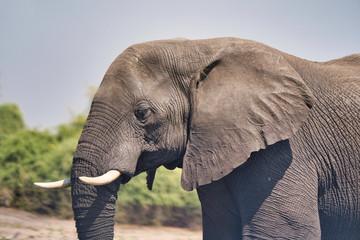 Tuinposter Olifant African elephant portrait in Chobe park safari, Zimbabwe, Africa