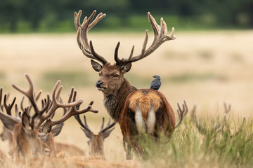 Foto op Plexiglas Hert Bird with red deer in richmond park