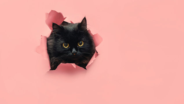 Funny black cat looks through ripped hole in pink paper backgroud. Peekaboo. Naughty pets and mischievous domestic animals. Copy space. Yellow eyes.