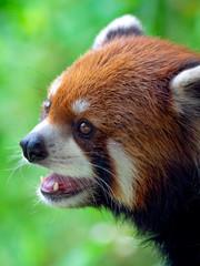 レッサーパンダ(王子動物園)