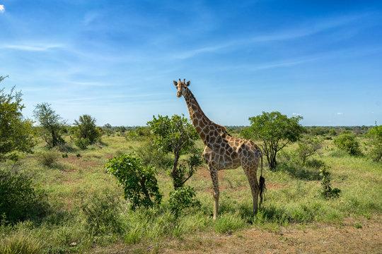 Kruger Nationalpark Giraffe Afrika #2