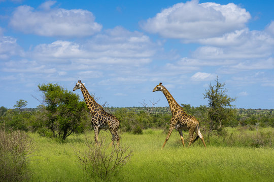 Kruger Nationalpark Giraffe Afrika #1
