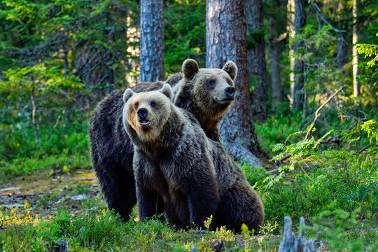 Brown bear brothers in the forest.