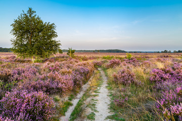 Wall Mural - Purple pink heather in bloom Ginkel Heath Ede in the Netherlands. Famous as dropping zone for the soldiers during WOII operation Market Garden Arnhem.