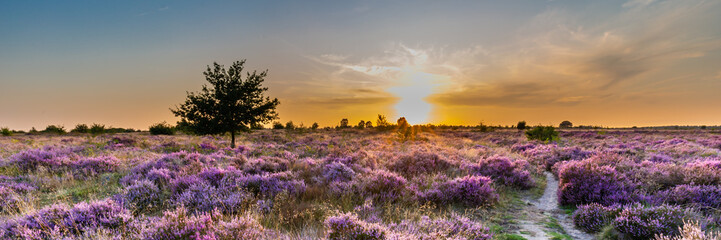 Purple pink heather in bloom Ginkel Heath Ede in the Netherlands. Famous as dropping zone for the soldiers during WOII operation Market Garden Arnhem. Wall mural