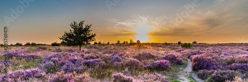 Wall mural Purple pink heather in bloom Ginkel Heath Ede in the Netherlands. Famous as dropping zone for the soldiers during WOII operation Market Garden Arnhem.
