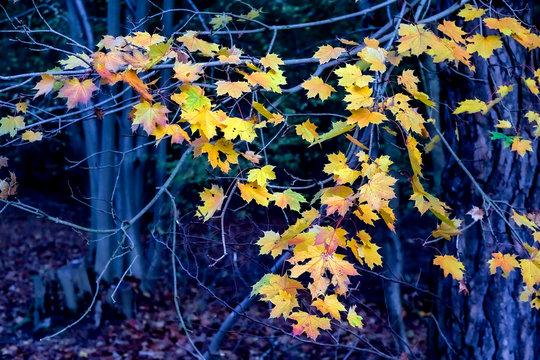 france, forêt de rambouillet : feuilles de chêne