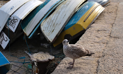 young seagull at the harbor - St. Ives - CW