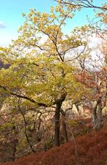 young oak in autumn - Bodetal - Germany
