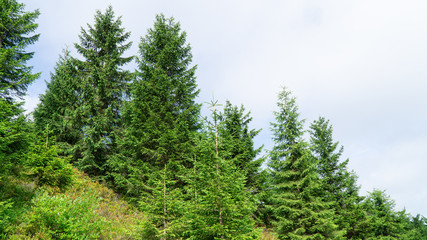Typical mountain spruce forest in The Orlicke Mountains, mountain range, Czech Republic