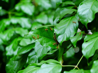 Wall Mural - red ant's nest on green leaf of tree