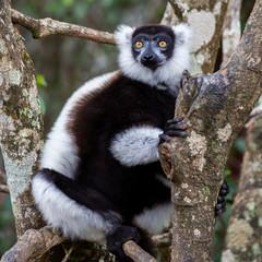 Black-and-white ruffed lemur perched on a tree (Varecia variegata), Andasibe Reserve, Madagascar