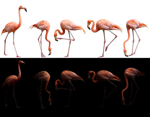 american flamingo bird on dark and white background