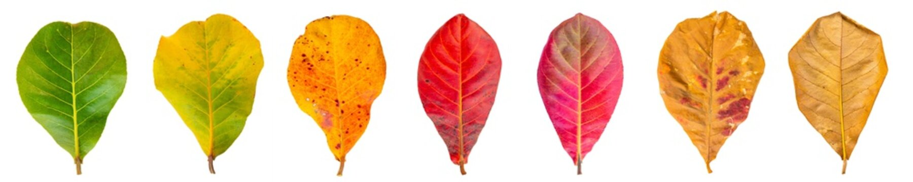 Cycle of leaves change seasons. Sea almond Leaves isolated on a white background with clipping path.