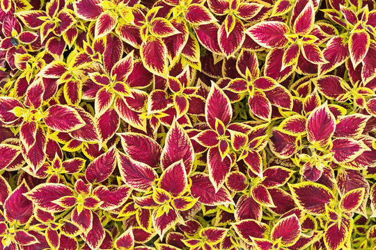 Coleus flower. Bright coleus leaves with a contrasting pattern.