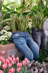 Snake plant, Sansevieria garden decore installation in old recycled denim jeans planter.