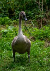 Grey swan standing on grass watching around