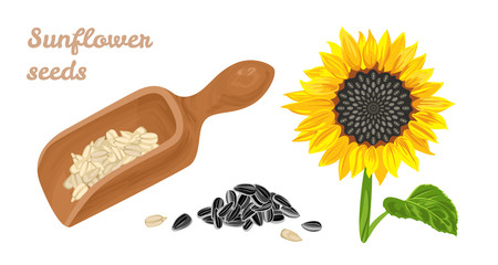 Sunflower seeds in wooden spoon, blooming sunflower with green leaves and heap of unpeeled seeds isolated on white background. Vector illustration of healthy food in cartoon simple flat style.