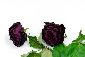 vertrocknete rote Rosen auf weißem Hintergrund