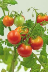 frische Kirsch Tomaten am Strauch.