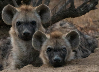 Wall Murals Hyena Spotted Hyena cubs faces look at camera