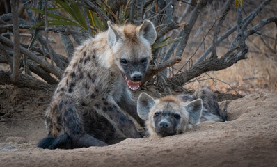 Spotted Hyena cub and adult showing teeth in south africa