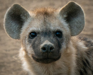 Spotted hyena cub face in south africa