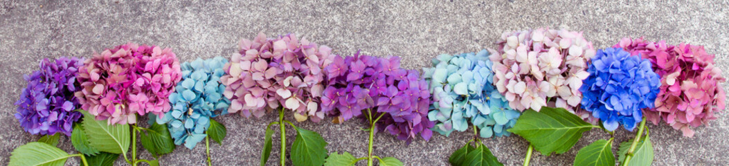 Aluminium Prints Hydrangea Beautiful hydrangea flowers in multiple colors arranged in a row as a boarder; Bright pink, purple and blue bunches of flowers set in a line