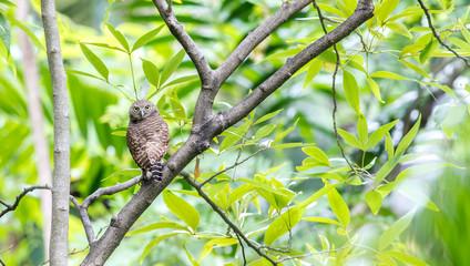 Asian Barred Owlet (Glaucidium cuculoides) Fotoväggar