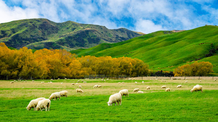 Sheep in green grass field and mountain with sky background in rural of new zealand