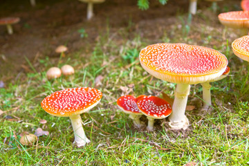 fly agaric in the forest