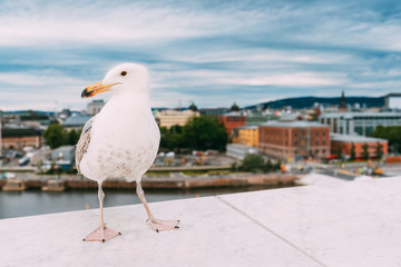 Oslo, Norway. White Hat Beckoning Seagull On Viewing Platform On Background Oslo Cityscape Skyline
