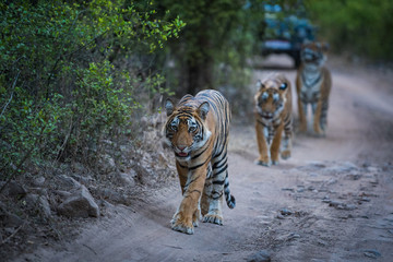 Three bengal tigers on an evening stroll on a jungle track in a pattern. A conceptual and behavioral image of sub adult tigers or sibling showing their bonding, togetherness and love at ranthambore.