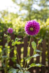 Spätsommer, Dalienblüte am Zaun