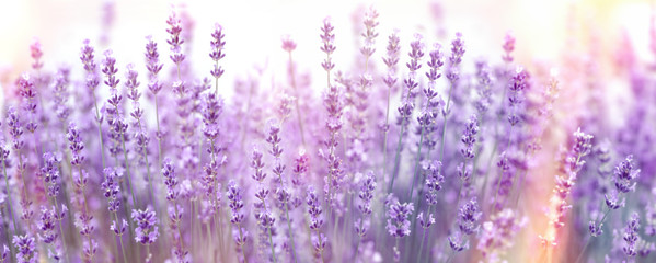 Selective and soft focus on lavender flower, lavender flowers lit by sunlight in flower garden