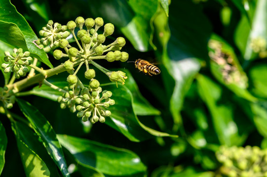 Macro shot of a bee, which is approaching the flowers of an ivy.