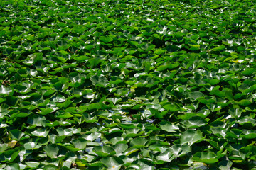 Wall Murals Water lilies Water Lilies at the Humboldt Park Lagoon in Chicago