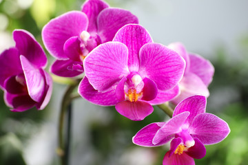 Tuinposter Orchidee Beautiful blooming orchid on blurred background, closeup view