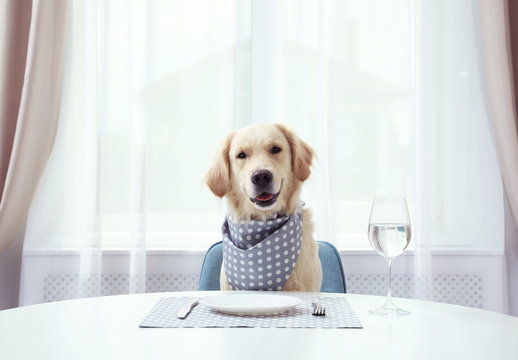 Cute funny dog waiting for food at dining table indoors