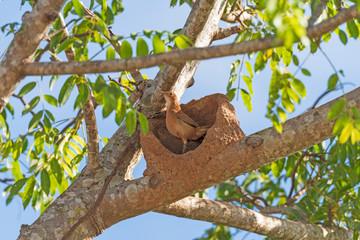 Rufous Hornero on its Nest