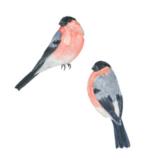 Watercolor painting bullfinch isolated on white