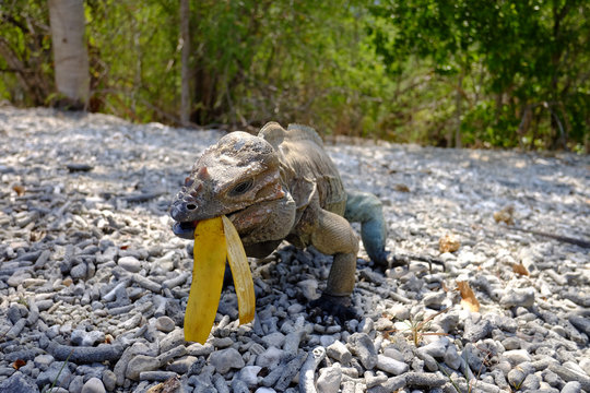 Dominican ground lizard eating a discarded banana with volcanic landscape rock in the background. close up, lake Enriquillo