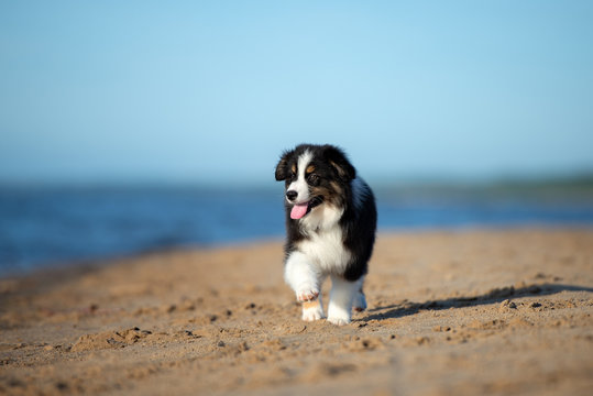 adorable australian shepherd puppy walking on the beach