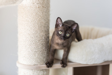 Kitten climbing on a cat tree. Purebred Burmese brown color.