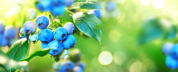 Blueberry plant. Fresh and ripe organic Blueberries growing in a garden. Healthy food. Agriculture. Wide screen Fototapete