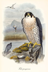 Bird of prey on a rock looking to the viewer. Hunting scene on background. Old detailed and colorful  illustration of Peregrine Falcon (Falco peregrinus). By John Gould publ. In London 1862 - 1873