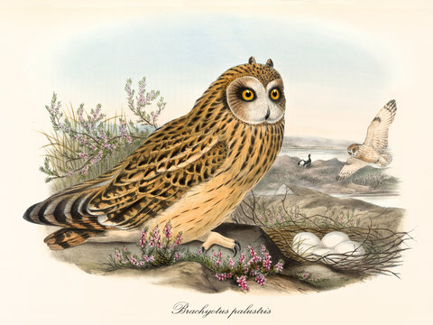 Owl with orange feather with black dots stands close to its nest with eggs inside. Old colorful and detailed illustration of Short-Eared Owl (Asio flammeus). By John Gould publ. In London 1862 - 1873