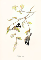 Two little cute birds on a botanical composition with a thin branch with leaves. Old colorful and detailed illustration of Coal Tit (Periparus ater). By John Gould publ. In London 1862 - 1873